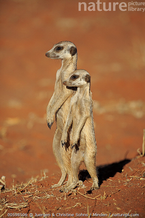 Meerkat (Suricata suricatta) pair on alert, Tswalu Game Reserve, South Africa, Adult, Alert, Color Image, Day, Formation, Full Length, Meerkat, Nobody, Outdoors, Photography, Side View, South Africa, Standing, Suricata suricatta, Tswalu Game Reserve, Two Animals, Upright, Vertical, Wildlife, Juergen & Christine Sohns