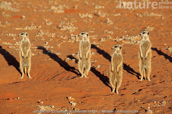 Meerkat (Suricata suricatta) group on alert, Tswalu Game Reserve, South Africa  ,  Adult, Alert, Color Image, Day, Formation, Four Animals, Front View, Full Length, Horizontal, Meerkat, Nobody, Outdoors, Photography, South Africa, Standing, Suricata suricatta, Tswalu Game Reserve, Upright, Wildlife  ,  Juergen & Christine Sohns