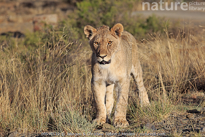 African Lion (Panthera leo) sub-adult female, Mountain Zebra National Park, South Africa  ,  Adult, African Lion, Color Image, Day, Female, Front View, Full Length, Horizontal, Lioness, Looking at Camera, Mountain Zebra National Park, Nobody, One Animal, Outdoors, Panthera leo, Photography, South Africa, Sub-Adult, Threatened Species, Vulnerable Species, Wildlife  ,  Juergen & Christine Sohns