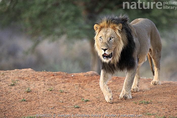 African Lion (Panthera leo) male, Tswalu Game Reserve, South Africa, Adult, African Lion, Color Image, Day, Full Length, Horizontal, Male, Nobody, One Animal, Outdoors, Panthera leo, Photography, Side View, South Africa, Threatened Species, Tswalu Game Reserve, Vulnerable Species, Wildlife, Juergen & Christine Sohns