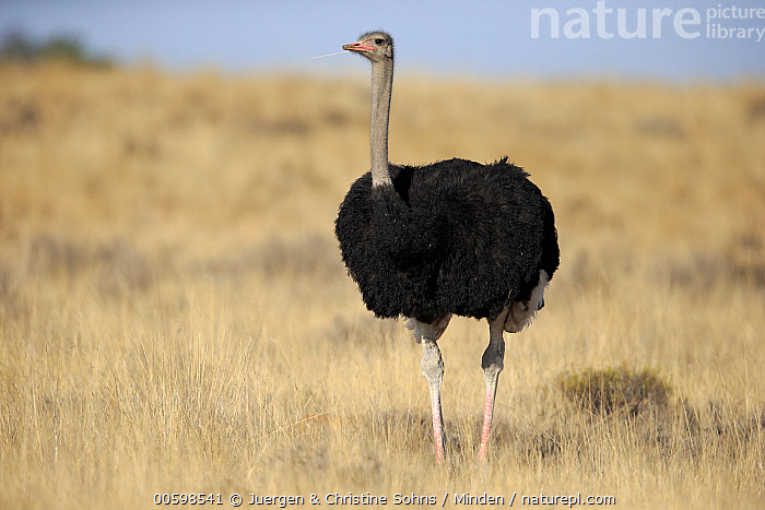 Ostrich (Struthio camelus) male, Mountain Zebra National Park, South Africa  ,  Adult, Color Image, Day, Full Length, Horizontal, Male, Mountain Zebra National Park, Nobody, One Animal, Ostrich, Outdoors, Photography, Side View, South Africa, Struthio camelus, Wildlife  ,  Juergen & Christine Sohns
