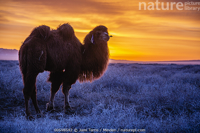 Bactrian Camel (Camelus bactrianus) in winter at sunset, Gobi Desert, Mongolia  ,  Adult, Backlighting, Bactrian Camel, Camelus bactrianus, Color Image, Critically Endangered Species, Day, Domesticated, Endangered Species, Full Length, Gobi Desert, Horizontal, Moody, Mongolia, Nobody, One Animal, Outdoors, Photography, Side View, Sunrise, Sunset, Winter  ,  Jami Tarris