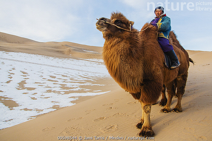 Bactrian Camel (Camelus bactrianus) with herder in winter, Gobi Desert, Mongolia  ,  Adult, Asian Ethnicity, Bactrian Camel, Camelus bactrianus, Color Image, Critically Endangered Species, Day, Domesticated, Endangered Species, Full Length, Gobi Desert, Herder, Horizontal, Male, Man, Mid Adult, Mongolia, One Animal, One Person, Outdoors, Photography, Riding, Side View, Snow, Winter  ,  Jami Tarris