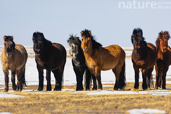 Mongolian Horse (Equus caballus) herd in winter, Gobi Desert, Mongolia  ,  Adult, Color Image, Day, Equus caballus, Formation, Front View, Full Length, Gobi Desert, Herd, Horizontal, Looking at Camera, Medium Group of Animals, Mongolia, Mongolian Horse, Nobody, Outdoors, Photography, Side View, Winter  ,  Jami Tarris