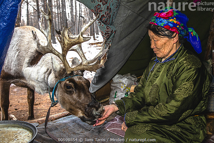 Caribou (Rangifer tarandus) entering teepee for food, Khovsgol, Mongolia  ,  Adult, Asian Ethnicity, Caribou, Color Image, Day, Domesticated, Feeding, Female, Horizontal, Khovsgol, Mature Adult, Mongolia, One Animal, One Person, Outdoors, Photography, Rangifer tarandus, Side View, Teepee, Three Quarter Length, Tsaatan, Waist Up, Woman  ,  Jami Tarris