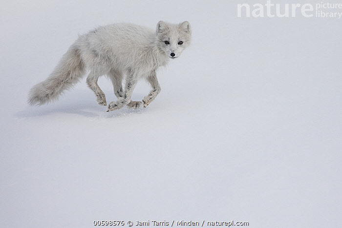 Arctic Fox (Alopex lagopus) running in snow, Spitsbergen, Svalbard, Norway  ,  Adult, Alopex lagopus, Arctic Fox, Color Image, Day, Full Length, Horizontal, Looking at Camera, Nobody, Norway, One Animal, Outdoors, Photography, Running, Side View, Snow, Spitsbergen, Svalbard, White, Wildlife  ,  Jami Tarris