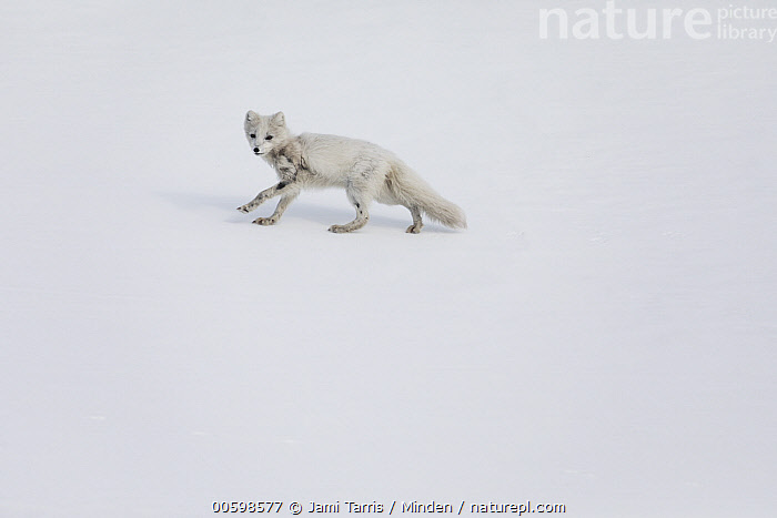 Arctic Fox (Alopex lagopus) running in snow, Spitsbergen, Svalbard, Norway  ,  Adult, Alopex lagopus, Arctic Fox, Color Image, Day, Fear, Full Length, Horizontal, Looking at Camera, Nobody, Norway, One Animal, Outdoors, Photography, Running, Side View, Snow, Spitsbergen, Svalbard, Wildlife  ,  Jami Tarris