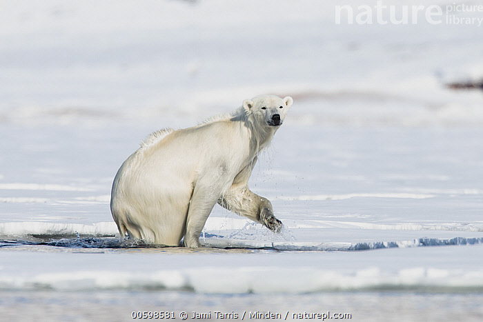 Polar Bear (Ursus maritimus) emerging from water, Spitsbergen, Svalbard, Norway  ,  Adult, Color Image, Day, Emerging, Full Length, Horizontal, Nobody, Norway, One Animal, Outdoors, Photography, Polar Bear, Side View, Spitsbergen, Svalbard, Threatened Species, Ursus maritimus, Vulnerable Species, Wet, Wildlife  ,  Jami Tarris