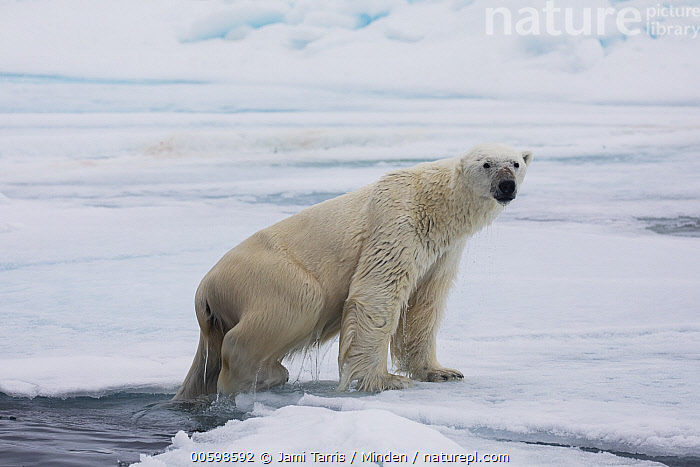 Polar Bear (Ursus maritimus) emerging from water, Spitsbergen, Svalbard, Norway  ,  Adult, Color Image, Day, Emerging, Full Length, Horizontal, Looking at Camera, Nobody, Norway, One Animal, Outdoors, Photography, Polar Bear, Side View, Spitsbergen, Svalbard, Threatened Species, Ursus maritimus, Vulnerable Species, Wildlife  ,  Jami Tarris