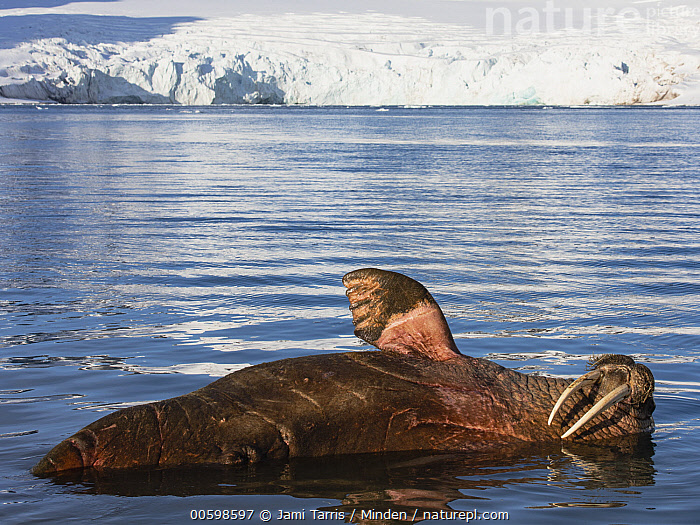 Walrus (Odobenus rosmarus) bull, Spitsbergen, Svalbard, Norway  ,  Adult, Bull, Color Image, Day, Horizontal, Male, Marine Mammal, Nobody, Norway, Odobenus rosmarus, One Animal, Outdoors, Photography, Side View, Spitsbergen, Svalbard, Three Quarter Length, Walrus, Waving, Wildlife  ,  Jami Tarris