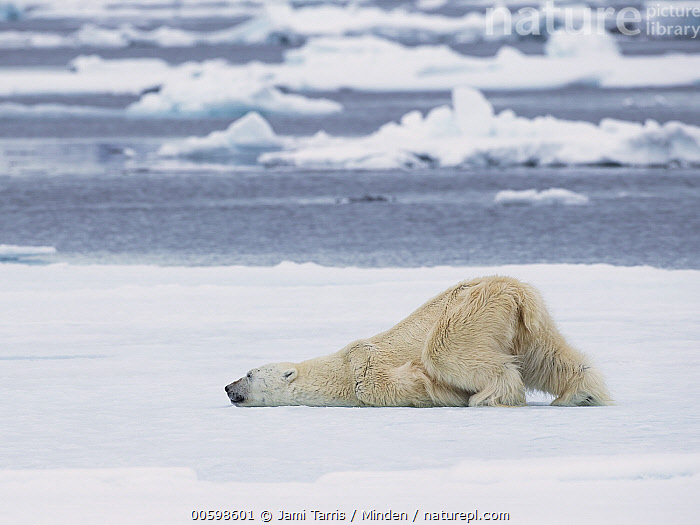 Polar Bear (Ursus maritimus) cooling off, Spitsbergen, Svalbard, Norway, Adult, Color Image, Cooling, Day, Full Length, Horizontal, Humor, Ice, Nobody, Norway, One Animal, Outdoors, Photography, Polar Bear, Rubbing, Side View, Spitsbergen, Svalbard, Thermoregulating, Threatened Species, Ursus maritimus, Vulnerable Species, Wildlife, Jami Tarris