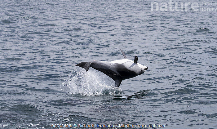 Pacific White-sided Dolphin (Lagenorhynchus obliquidens) jumping, San Diego, California  ,  Adult, California, Color Image, Day, Full Length, Horizontal, Jumping, Lagenorhynchus obliquidens, Marine Mammal, Nobody, One Animal, Outdoors, Pacific White-sided Dolphin, Photography, San Diego, Side View, Surface, Upside Down, Wildlife  ,  Richard Herrmann