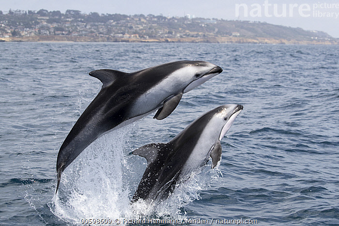 Pacific White-sided Dolphin (Lagenorhynchus obliquidens) pair jumping, San Diego, California  ,  Adult, California, Color Image, Day, Formation, Full Length, Horizontal, Jumping, Lagenorhynchus obliquidens, Marine Mammal, Nobody, Outdoors, Pacific White-sided Dolphin, Photography, San Diego, Side View, Surface, Three Quarter Length, Two Animals, Wildlife  ,  Richard Herrmann