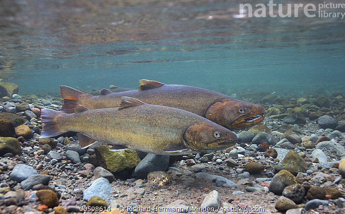 Bull Trout (Salvelinus confluentus) pair, Metolius River, eastern Oregon  ,  Adult, Bull Trout, Color Image, Day, Full Length, Horizontal, Metolius River, Nobody, Oregon, Outdoors, Photography, Salvelinus confluentus, Side View, Two Animals, Underwater, Wildlife, Threatened Species, Vulnerable Species  ,  Richard Herrmann