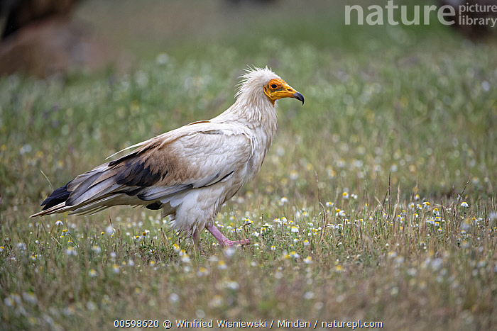 Egyptian Vulture (Neophron percnopterus) in flowering meadow, Extremadura, Spain  ,  Adult, Color Image, Day, Egyptian Vulture, Endangered Species, Extremadura, Flower, Full Length, Horizontal, Neophron percnopterus, Nobody, One Animal, Outdoors, Photography, Raptor, Side View, Spain, Wildlife  ,  Winfried Wisniewski