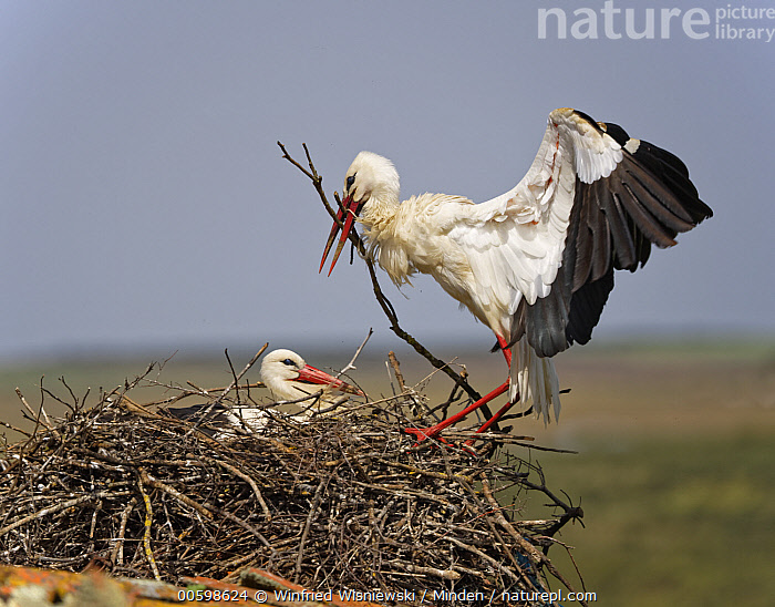 White Stork (Ciconia ciconia) landing with nest-building material, Extremadura, Spain  ,  Adult, Building, Ciconia ciconia, Color Image, Couple, Day, Extremadura, Female, Full Length, Head and Shoulders, Horizontal, Landing, Male, Nest, Nesting, Nobody, Outdoors, Photography, Side View, Spain, Two Animals, Wading Bird, White Stork, Wildlife  ,  Winfried Wisniewski