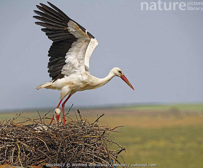 White Stork (Ciconia ciconia) taking flight from nest, Extremadura, Spain  ,  Adult, Ciconia ciconia, Color Image, Day, Extremadura, Female, Flying, Full Length, Head and Shoulders, Horizontal, Male, Nest, Nobody, Outdoors, Photography, Side View, Spain, Taking Flight, Two Animals, Wading Bird, White Stork, Wildlife  ,  Winfried Wisniewski