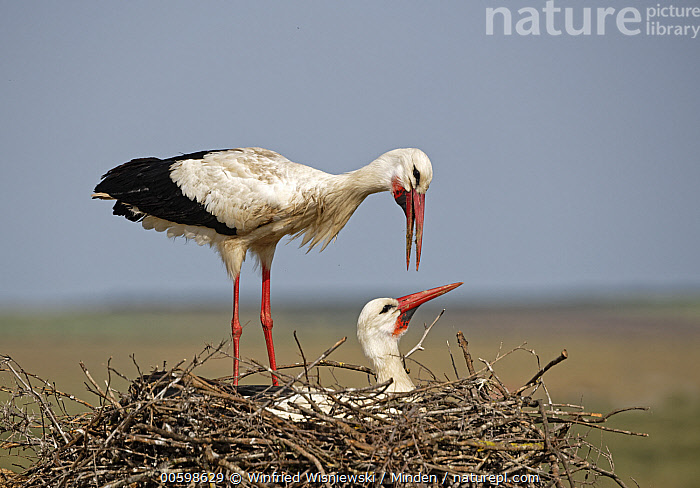 White Stork (Ciconia ciconia) pair on nest, Extremadura, Spain  ,  Adult, Ciconia ciconia, Color Image, Day, Extremadura, Female, Full Length, Head and Shoulders, Horizontal, Male, Nest, Nobody, Outdoors, Photography, Side View, Spain, Two Animals, Wading Bird, White Stork, Wildlife  ,  Winfried Wisniewski
