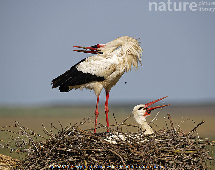 White Stork (Ciconia ciconia) pair courting on nest, Extremadura, Spain  ,  Adult, Ciconia ciconia, Color Image, Courting, Day, Displaying, Extremadura, Female, Full Length, Horizontal, Male, Nest, Nobody, Outdoors, Photography, Side View, Spain, Two Animals, Wading Bird, White Stork, Wildlife  ,  Winfried Wisniewski