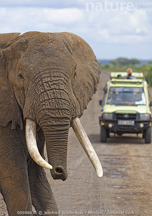 African Elephant (Loxodonta africana) bull crossing road near safari vehicle, Amboseli National Park, Kenya  ,  Adult, African Elephant, Amboseli National Park, Bull, Car, Color Image, Crossing, Day, Emoting, Encroaching, Head and Shoulders, Kenya, Looking at Camera, Loxodonta africana, Male, One Animal, Outdoors, Photography, Road, Safari, Side View, Smelling, Threatened Species, Two People, Vertical, Vulnerable Species, Wildlife  ,  Winfried Wisniewski