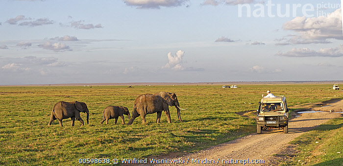 African Elephant (Loxodonta africana) herd near safari vehicle, Amboseli National Park, Kenya  ,  Adult, African Elephant, Amboseli National Park, Color Image, Day, Ecotourism, Full Length, Herd, Horizontal, Kenya, Loxodonta africana, Outdoors, Panoramic, Photography, Safari, Side View, Threatened Species, Three Animals, Tourism, Tourist, Two People, Vehicle, Vulnerable Species, Wildlife  ,  Winfried Wisniewski