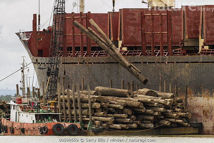 Logs being loaded on ships bound for China, Rajang River, Sarawak, Borneo, Malaysia  ,  Borneo, Color Image, Day, Deforestation, Environmental Issue, Harbor, Horizontal, Industry, Loading, Log, Logging, Malaysia, Nobody, Outdoors, Photography, Rajang River, Sarawak, Ship  ,  Gerry Ellis