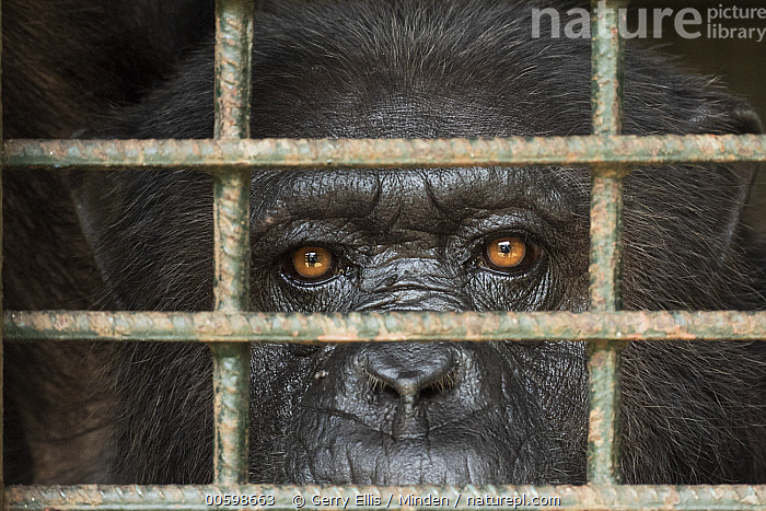 Chimpanzee (Pan troglodytes) in cage, Limbe Wildlife Centre, Cameroon  ,  Adult, Cage, Cameroon, Captive, Chimpanzee, Close Up, Color Image, Day, Endangered Species, Front View, Head, Horizontal, Limbe Wildlife Centre, Looking at Camera, Nobody, One Animal, Outdoors, Pan troglodytes, Photography, Wildlife  ,  Gerry Ellis