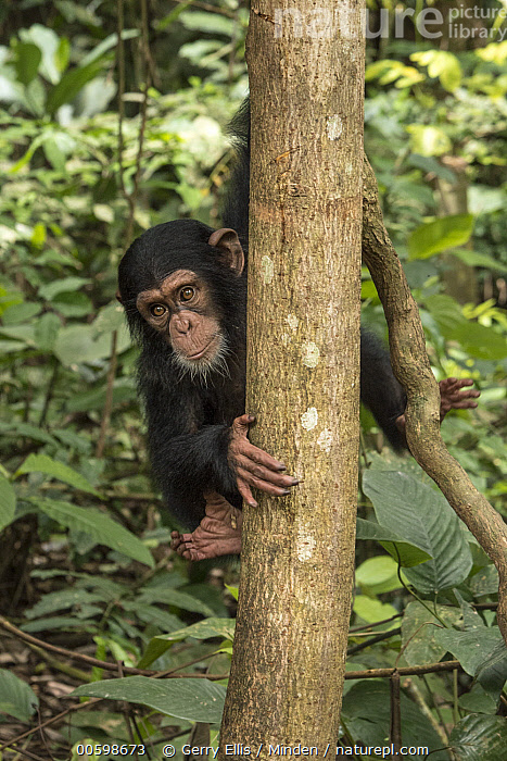 Chimpanzee (Pan troglodytes) orphan Daphne in tree, Ape Action Africa, Mefou Primate Sanctuary, Cameroon  ,  Arboreal, Baby, Cameroon, Captive, Chimpanzee, Color Image, Day, Endangered Species, Front View, Full Length, Looking at Camera, Mefou Primate Sanctuary, Nobody, One Animal, Orphan, Outdoors, Pan troglodytes, Photography, Vertical, Wildlife, Young  ,  Gerry Ellis