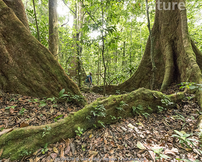 Buttress root in tropical rainforest, Korup National Park, western Cameroon  ,  Buttress Root, Cameroon, Color Image, Day, Horizontal, Korup National Park, Landscape, Nobody, Outdoors, Photography, Tree, Tree Trunk, Tropical Rainforest  ,  Gerry Ellis