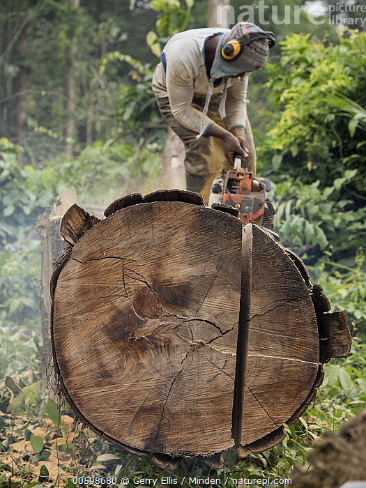 Rainforest tree being logged to clear area for palm oil plantation, western Cameroon  ,  Cameroon, Chainsaw, Color Image, Cutting, Day, Deforestation, Environmental Issue, Full Length, Industry, Log, Logging, One Person, Outdoors, Photography, Sawing, Side View, Tree, Vertical  ,  Gerry Ellis