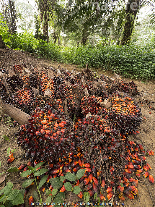 African Oil Palm (Elaeis guineensis) fruit in small plantation in rainforest, western Cameroon  ,  African Oil Palm, Agriculture, Cameroon, Color Image, Day, Elaeis guineensis, Fruit, Harvesting, Industry, Nobody, Outdoors, Photography, Plantation, Vertical  ,  Gerry Ellis