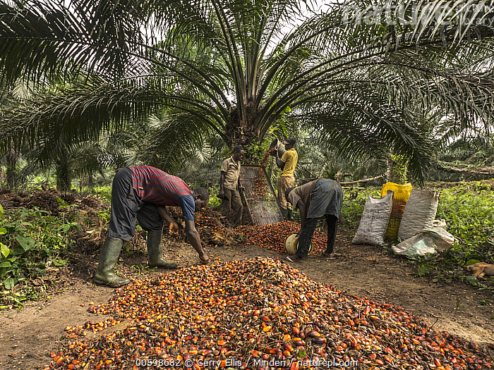 African Oil Palm (Elaeis guineensis) fruit being harvested in small plantation in rainforest, western Cameroon  ,  African Descent, African Oil Palm, Agriculture, Cameroon, Color Image, Day, Elaeis guineensis, Four People, Fruit, Harvesting, Horizontal, Male, Man, Outdoors, Photography, Plantation, Three People, Young Adult  ,  Gerry Ellis