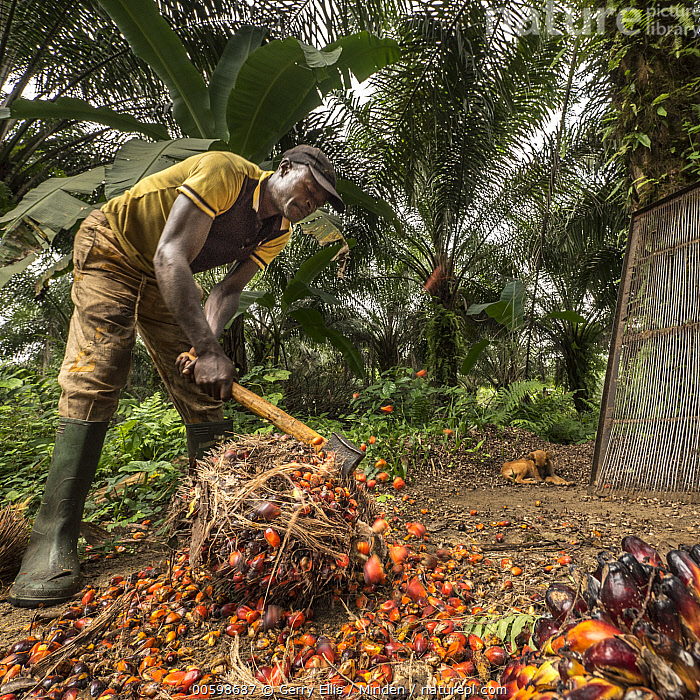 African Oil Palm (Elaeis guineensis) fruit being harvested in small plantation in rainforest, western Cameroon  ,  African Descent, African Oil Palm, Agriculture, Axe, Cameroon, Chopping, Color Image, Day, Elaeis guineensis, Fruit, Harvesting, Male, Man, Mid Adult, One Person, Outdoors, Photography, Plantation, Square  ,  Gerry Ellis