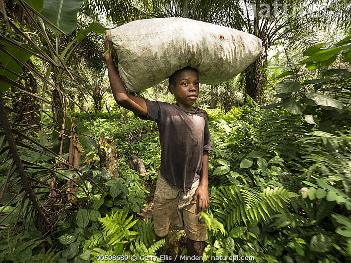 African Oil Palm (Elaeis guineensis) fruit being harvested in small plantation in rainforest, western Cameroon  ,  African Oil Palm, Agriculture, Bag, Boy, Cameroon, Carrying, Child, Color Image, Day, Elaeis guineensis, Fruit, Horizontal, Male, One Person, Outdoors, Photography, Plantation  ,  Gerry Ellis