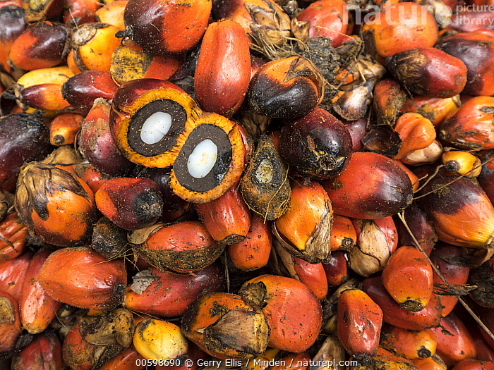 African Oil Palm (Elaeis guineensis) fruit being harvested in small plantation in rainforest, western Cameroon  ,  African Oil Palm, Agriculture, Cameroon, Color Image, Day, Elaeis guineensis, Fruit, Full Frame, Harvesting, Horizontal, Nobody, Outdoors, Photography, Plantation  ,  Gerry Ellis