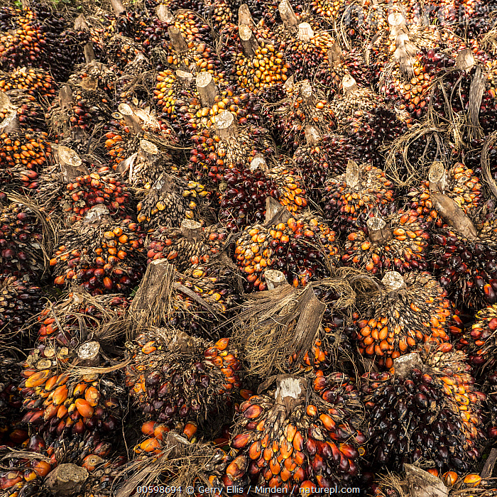 African Oil Palm (Elaeis guineensis) fruit being harvested in small plantation in rainforest, western Cameroon  ,  African Oil Palm, Agriculture, Cameroon, Color Image, Day, Elaeis guineensis, Fruit, Full Frame, Harvesting, Nobody, Outdoors, Photography, Plantation, Square  ,  Gerry Ellis