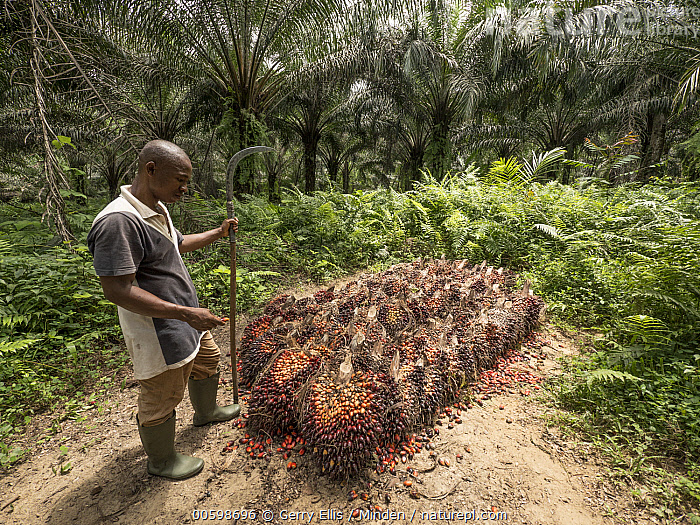 African Oil Palm (Elaeis guineensis) fruit being harvested in small plantation in rainforest, western Cameroon  ,  African Descent, African Oil Palm, Agriculture, Cameroon, Color Image, Day, Elaeis guineensis, Fruit, Full Length, Harvesting, Horizontal, Male, Man, Mid Adult, One Person, Outdoors, Photography, Plantation, Side View  ,  Gerry Ellis
