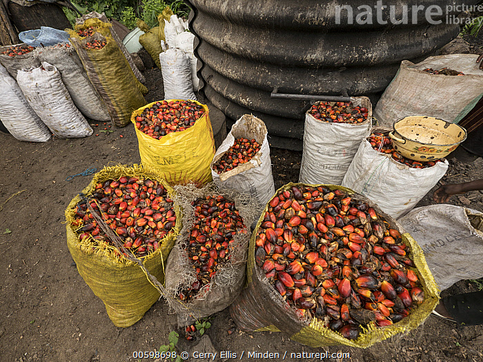 African Oil Palm (Elaeis guineensis) fruit collected for processing, western Cameroon  ,  African Oil Palm, Agriculture, Bag, Cameroon, Color Image, Collected, Day, Elaeis guineensis, Fruit, Harvesting, Harvested, Horizontal, Nobody, Outdoors, Photography, Plantation, Processing  ,  Gerry Ellis