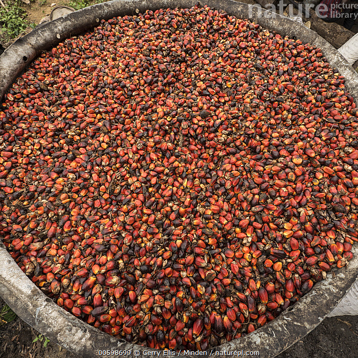 African Oil Palm (Elaeis guineensis) fruit collected for processing, western Cameroon  ,  African Oil Palm, Agriculture, Cameroon, Color Image, Collected, Day, Elaeis guineensis, Fruit, Harvesting, Nobody, Outdoors, Photography, Plantation, Processing, Square  ,  Gerry Ellis