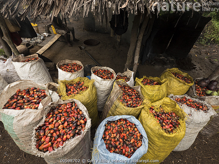 African Oil Palm (Elaeis guineensis) fruit collected for processing, western Cameroon  ,  African Oil Palm, Agriculture, Bag, Cameroon, Color Image, Collected, Day, Elaeis guineensis, Fruit, Harvesting, Harvested, Horizontal, Nobody, Outdoors, Photography, Plantation  ,  Gerry Ellis