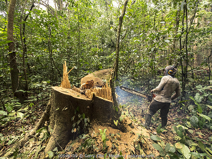 Rainforest tree being logged to clear area for oil palm plantation, western Cameroon  ,  Cameroon, Chainsaw, Color Image, Cutting, Day, Deforestation, Environmental Issue, Full Length, Horizontal, Industry, Logging, Male, Man, One Person, Outdoors, Photography, Rainforest, Sawing, Side View, Tree  ,  Gerry Ellis