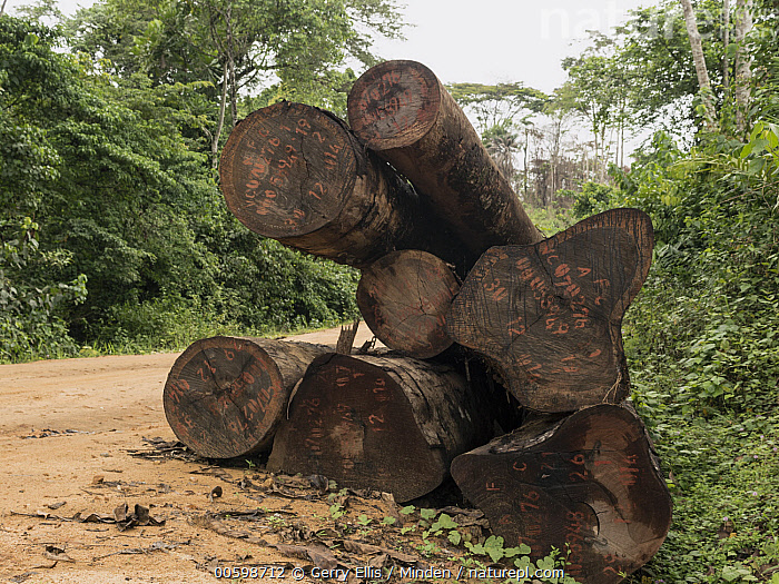 Rainforest logs on logging road, Cameroon  ,  Cameroon, Color Image, Day, Deforestation, Dirt Road, Environmental Issue, Horizontal, Industry, Log, Logging, Nobody, Outdoors, Photography, Rainforest  ,  Gerry Ellis