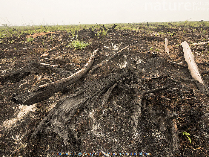 Recently cleared and burnt tropical rainforest to convert area for oil palm plantation, West Kalimantan, Borneo, Indonesia  ,  Borneo, Color Image, Day, Deforestation, Environmental Issue, Horizontal, Indonesia, Landscape, Nobody, Outdoors, Photography, Slash and Burn, West Kalimantan  ,  Gerry Ellis