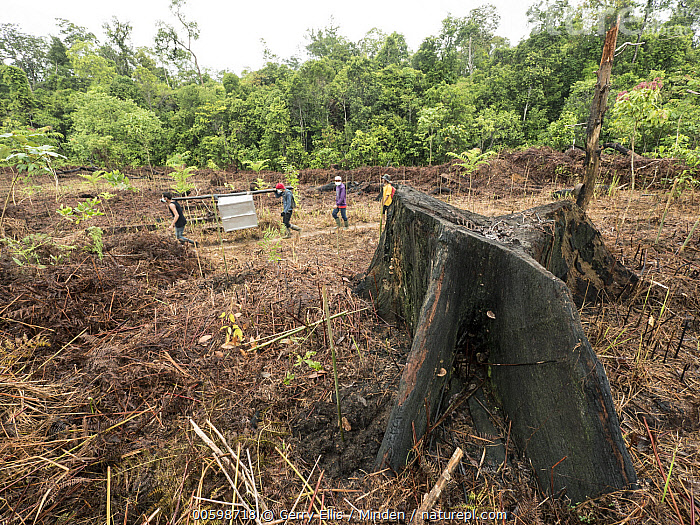 Orangutan (Pongo pygmaeus) being carried in cage through slashed and burned agricultural fields before being released, Gunung Palung National Park, West Kalimantan, Borneo, Indonesia  ,  Adult, Agricultural, Borneo, Cage, Carrying, Color Image, Conservation, Day, Deforestation, Encroaching, Endangered Species, Endemic, Environmental Issue, Four People, Full Length, Gunung Palung National Park, Habitat Loss, Horizontal, Indonesia, Logging, One Animal, Orangutan, Outdoors, Photography, Pongo pygmaeus, Releasing, Sequence, Side View, Stump, West Kalimantan, Wildlife  ,  Gerry Ellis