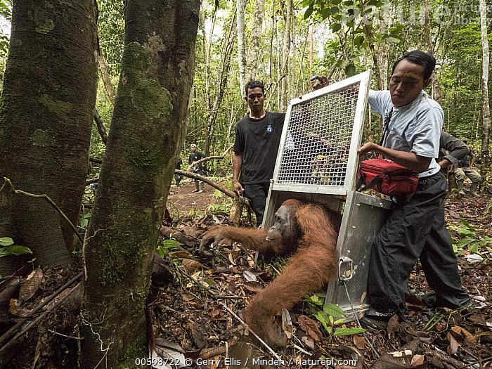 Orangutan (Pongo pygmaeus) male being released after being rescued from 2015 fires, Gunung Palung National Park, West Kalimantan, Borneo, Indonesia  ,  Adult, Asian Ethnicity, Borneo, Cage, Color Image, Conservation, Day, Endangered Species, Endemic, Front View, Full Length, Gunung Palung National Park, Horizontal, Indonesia, Male, Man, Mid Adult, One Animal, Orangutan, Outdoors, Photography, Pongo pygmaeus, Releasing, Sequence, Side View, Three People, Three Peaks Nature Park, West Kalimantan, Wildlife  ,  Gerry Ellis