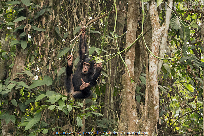 Chimpanzee (Pan troglodytes) orphan Daphne playing in trees, Ape Action Africa, Mefou Primate Sanctuary, Cameroon  ,  Animal in Habitat, Arboreal, Baby, Cameroon, Captive, Chimpanzee, Climbing, Color Image, Day, Endangered Species, Front View, Full Length, Hanging, Horizontal, Mefou Primate Sanctuary, Nobody, One Animal, Orphan, Outdoors, Pan troglodytes, Photography, Playing, Rainforest, Wildlife, Young  ,  Gerry Ellis