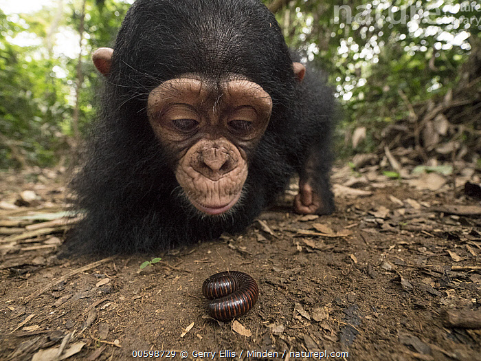Chimpanzee (Pan troglodytes) orphan Larry cautiously investigating millipede, Ape Action Africa, Mefou Primate Sanctuary, Cameroon  ,  Baby, Cameroon, Captive, Chimpanzee, Color Image, Curiosity, Curious, Day, Endangered Species, Front View, Full Length, Horizontal, Investigating, Mefou Primate Sanctuary, Millipede, Nobody, Orphan, Outdoors, Pan troglodytes, Photography, Two Animals, Wide-angle Lens, Wildlife, Young  ,  Gerry Ellis