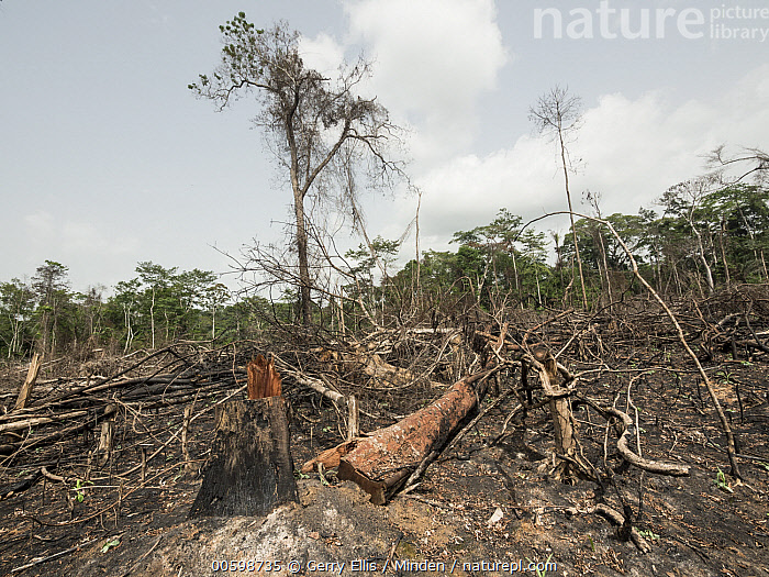 Slash-and-burn deforestation, near Mefou Primate Sanctuary, Cameroon  ,  Cameroon, Color Image, Day, Deforestation, Environmental Issue, Horizontal, Landscape, Mefou Primate Sanctuary, Nobody, Outdoors, Photography, Slash and Burn  ,  Gerry Ellis