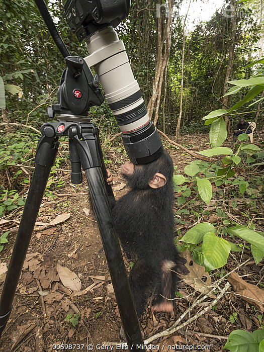 Chimpanzee (Pan troglodytes) orphan looking at reflection in camera, Mefou Primate Sanctuary, Cameroon  ,  Baby, Camera, Cameroon, Captive, Chimpanzee, Color Image, Curiosity, Curious, Day, Endangered Species, Full Length, Funny, Humor, Mefou Primate Sanctuary, Nobody, One Animal, Orphan, Outdoors, Pan troglodytes, Photography, Reflection, Side View, Vertical, Wildlife, Young  ,  Gerry Ellis