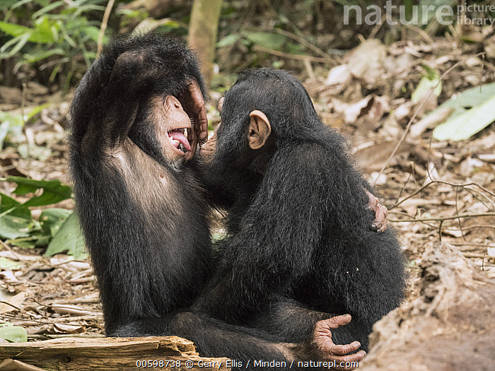 Chimpanzee (Pan troglodytes) orphans Daphne and Larry playing, Ape Action AFrica, Mefou Primate Sanctuary, Cameroon  ,  Affection, Baby, Cameroon, Captive, Chimpanzee, Color Image, Curiosity, Day, Endangered Species, Horizontal, Mefou Primate Sanctuary, Nobody, Orphan, Outdoors, Pan troglodytes, Photography, Playing, Side View, Three Quarter Length, Two Animals, Wildlife, Young  ,  Gerry Ellis